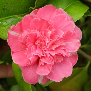 Camellia japonica 'Feast's Perfection'