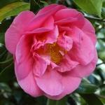 Camellia hybrid 'Fire'n'Ice'