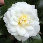 Camellia japonica 'Gold Tone'