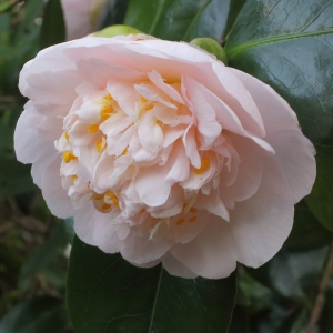 Camellia japonica 'Mrs D W Davis'