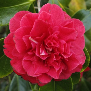 Camellia japonica 'Aaron's Ruby'