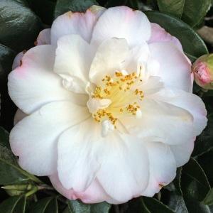 Camellia japonica 'Alexis Smith'