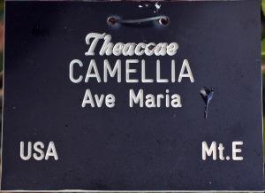 Camellia japonica 'Ave Maria'