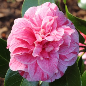 Camellia japonica 'Blood of China' (1G-006)