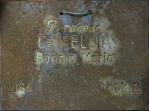 Camellia hybrid 'Bonnie Marie'
