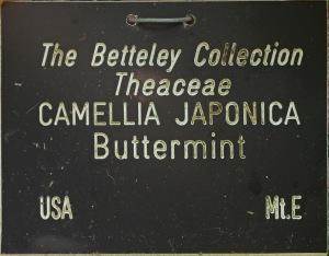 Camellia hybrid 'Buttermint'