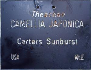 Camellia japonica 'Carter's Sunburst'