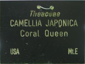 Camellia japonica 'Coral Queen'