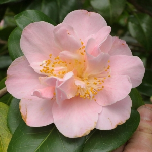 Camellia japonica 'Coral Queen'