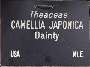 Camellia japonica 'Dainty' (California)