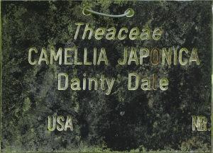 Camellia hybrid 'Dainty Dale'