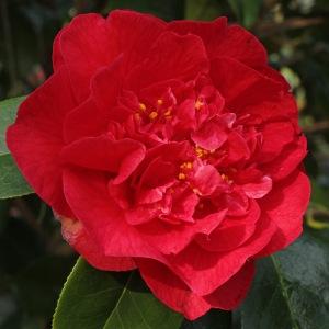 Camellia 'Dr Clifford Parks' (1G-025)