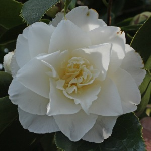 Camellia japonica 'Elegans Champagne'