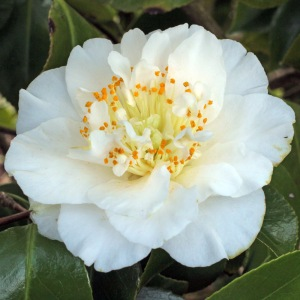 Camellia japonica 'Elizabeth Dowd'