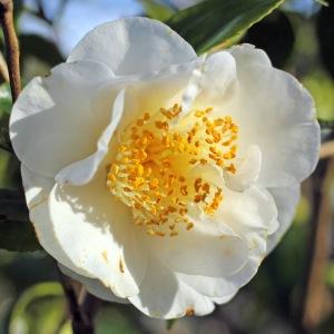 Camellia japonica 'Finlandia'