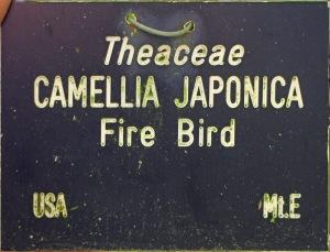 Camellia japonica 'Firebird'