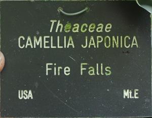 Camellia japonica 'Fire Falls'