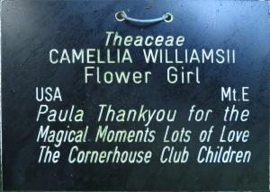 Camellia hybrid 'Flower Girl'