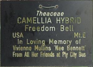 Camellia hybrid 'Freedom Bell'