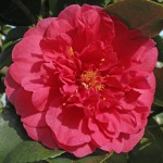 Camellia japonica 'Guest of Honor'