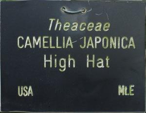 Camellia japonica 'High Hat'
