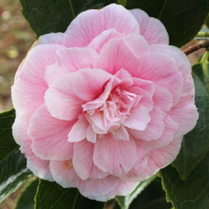 Camellia japonica 'High Hat'