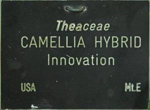Camellia hybrid 'Innovation'