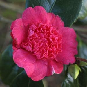 Camellia japonica 'Jingle Bells'