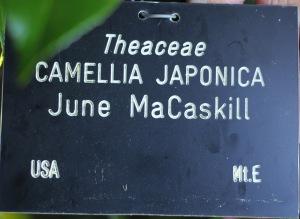 Camellia japonica 'June McCaskill'