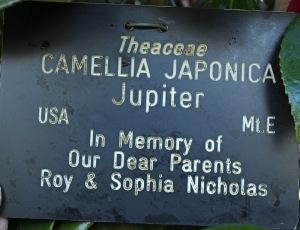 Camellia japonica 'Jupiter'