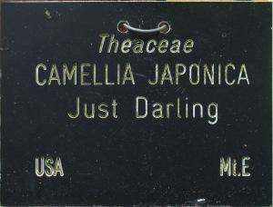 Camellia japonica 'Just Darling'