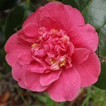 Camellia japonica 'Lady Mary Cromartie'
