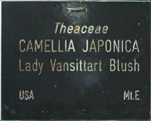 Camellia japonica 'Lady Vansittart Blush'