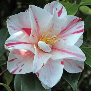 Camellia japonica 'Lady Vansittart Blush' (1G-062)