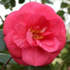 Camellia japonica 'Latifolia'