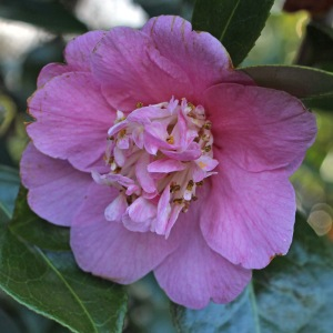 Camellia x williamsii 'Little Lavender'