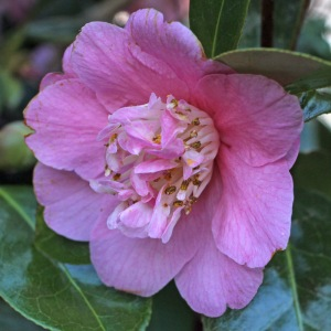 Camellia x williamsii 'Little Lavender'