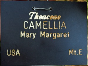 Camellia japonica 'Mary Margaret'