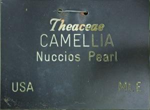 Camellia japonica 'Nuccio's Pearl'