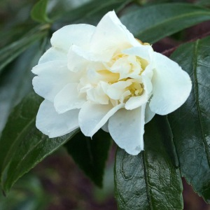 Camellia hybrid 'Pink Icicle'