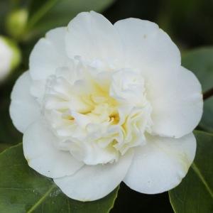 Camellia japonica 'Powder Puff'