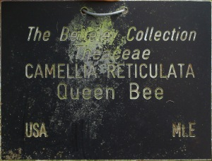 Camellia 'Queen Bee'