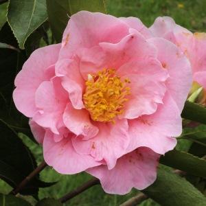 Camellia hybrid 'Queen Bee'