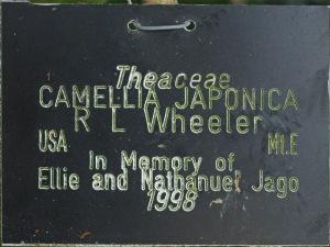 Camellia japonica 'R.L. Wheeler'