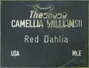 Camellia x williamsii 'Red Dahlia'