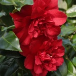 Camellia x williamsii 'Red Dahlia'