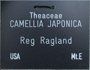 Camellia japonica 'Reg Ragland'
