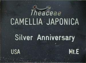 Camellia japonica 'Silver Anniversary'