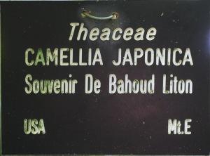 Camellia japonica 'Souvenir de Bahuaud-Litou'