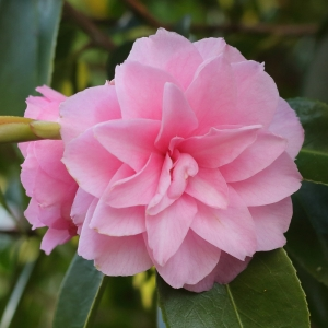 Camellia hybrid 'Spring Festival'